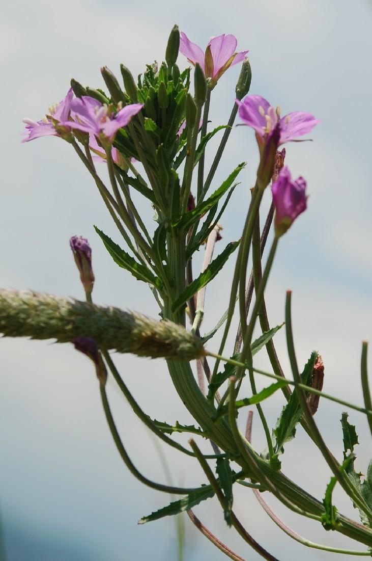 Epilobium tetragonum subsp. tournefortii 14