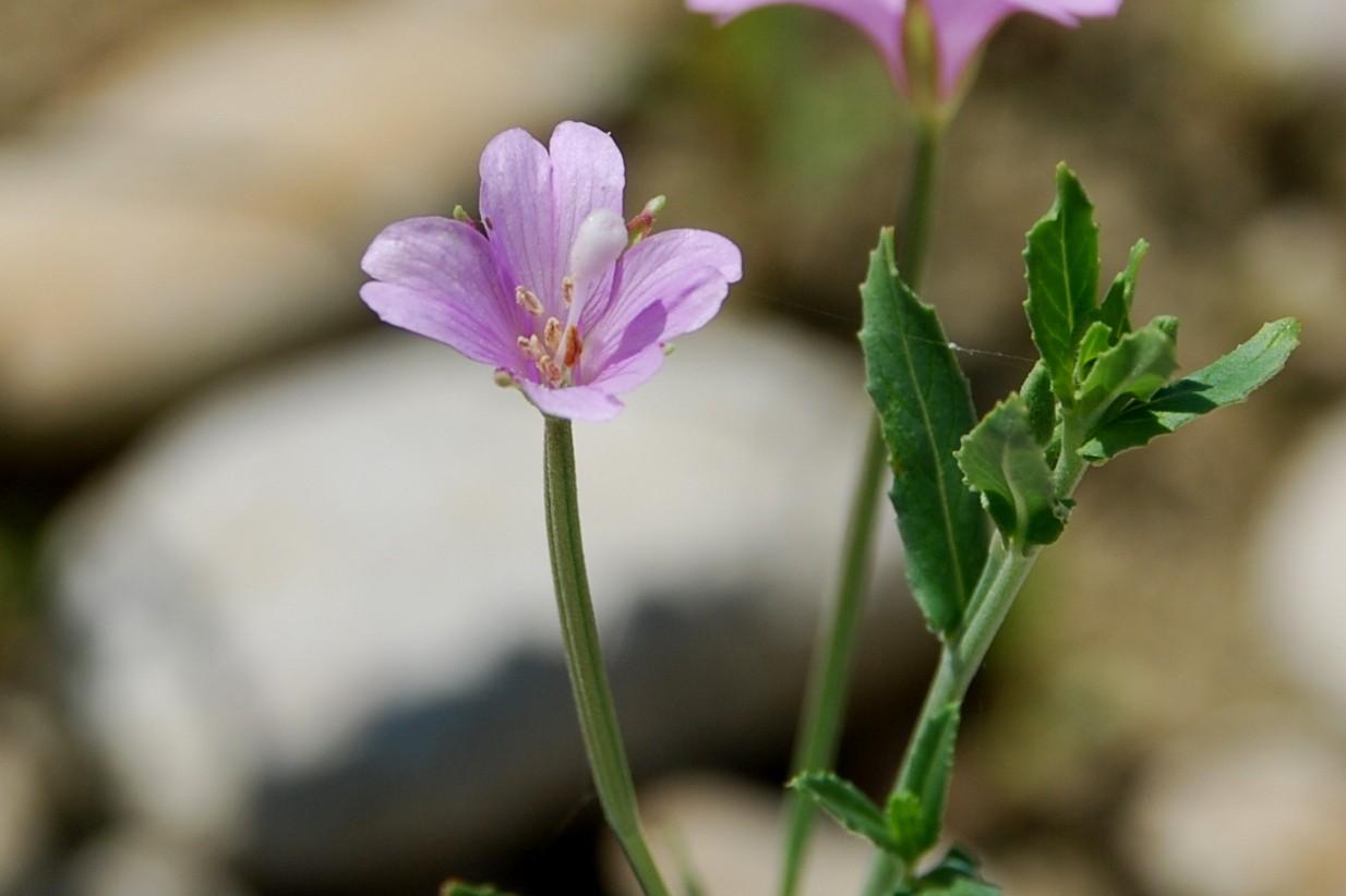 Epilobium tetragonum subsp. tournefortii 18