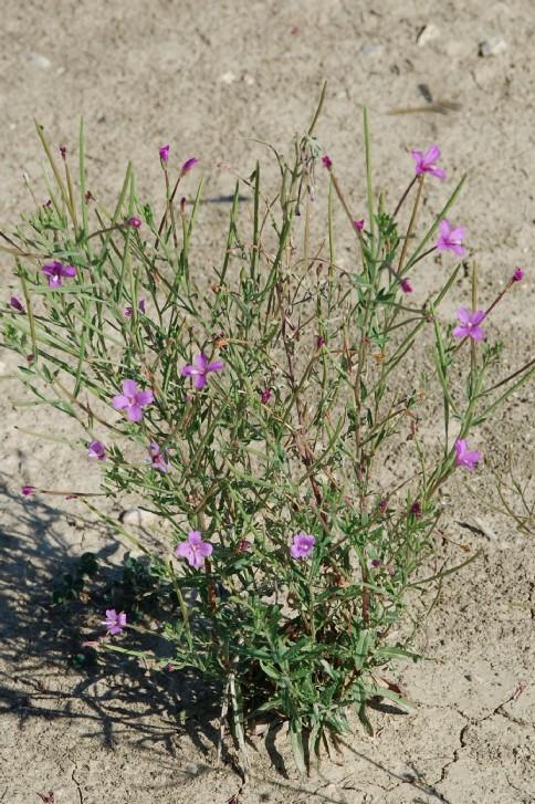 Epilobium tetragonum subsp. tournefortii 20