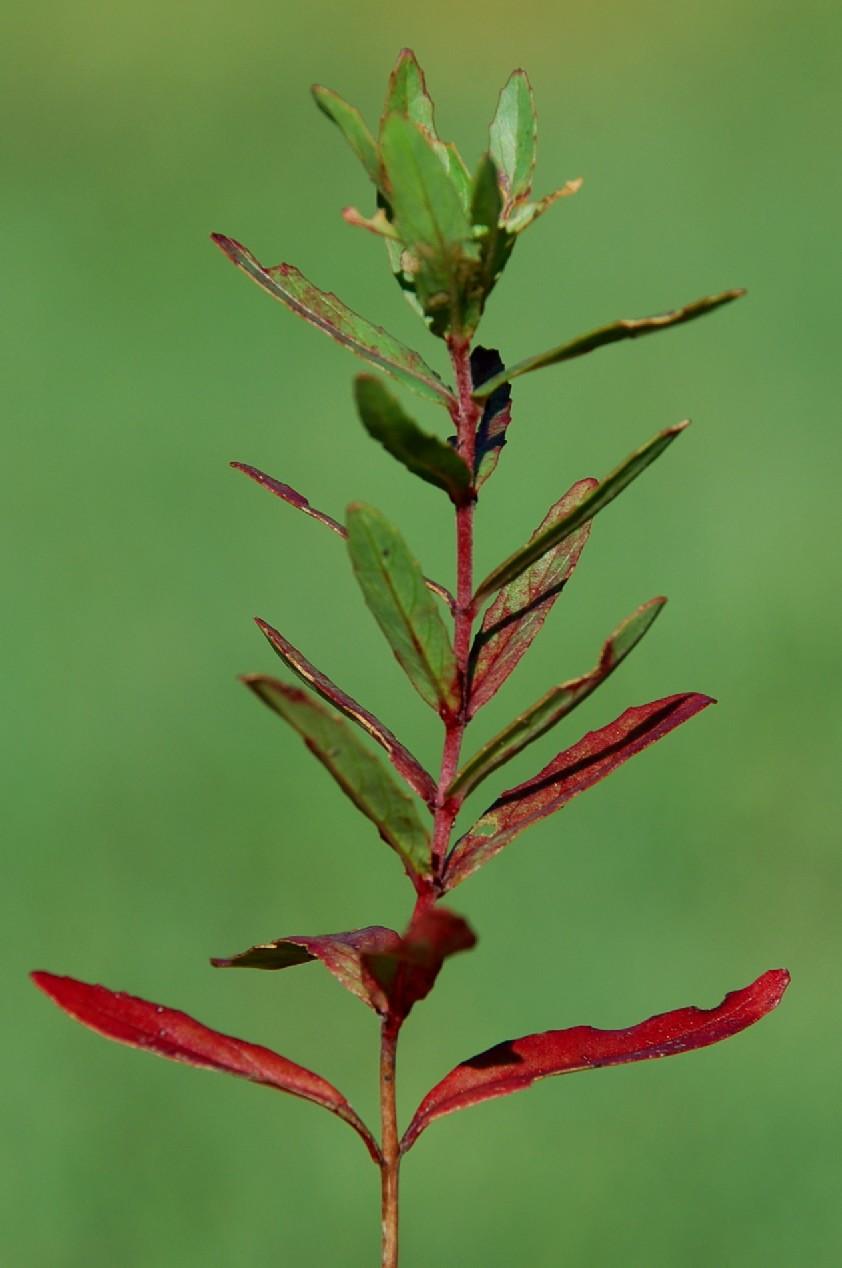 Epilobium tetragonum subsp. tournefortii 8