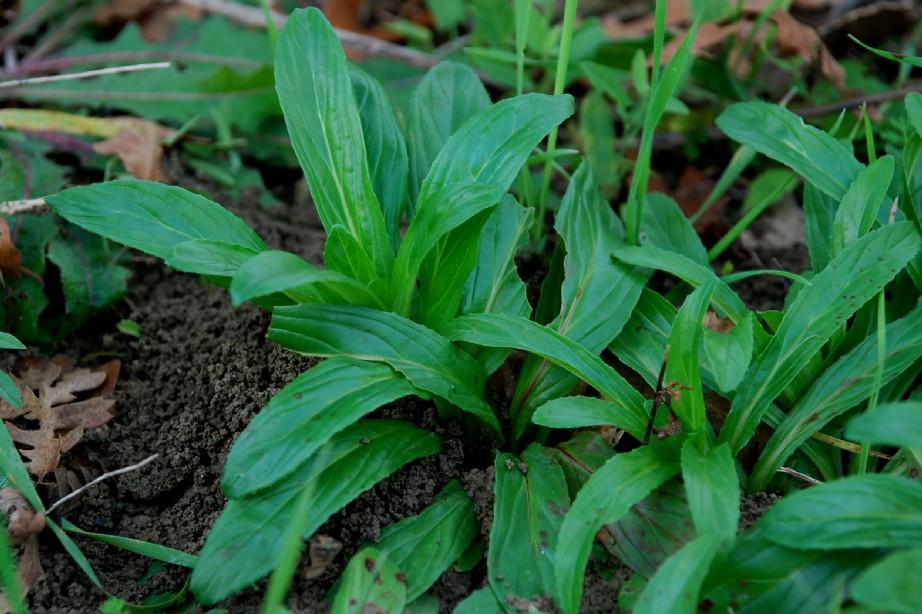 Epilobium tetragonum subsp. tournefortii 9