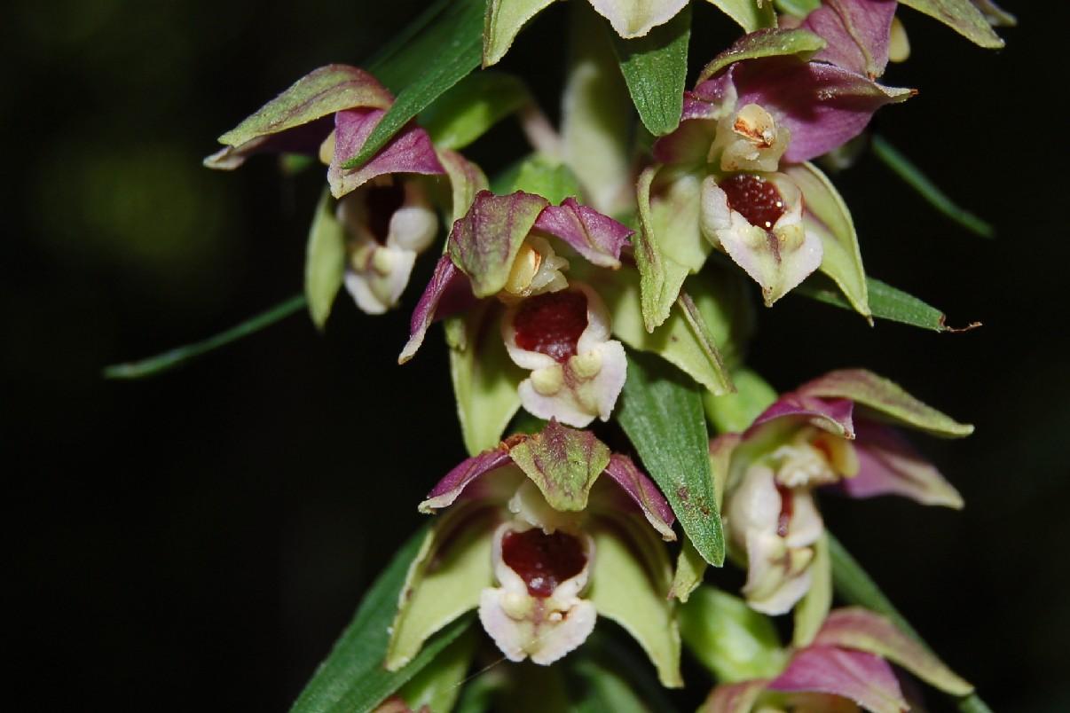 Epipactis helleborine subsp. elleborine 5