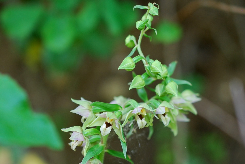 Epipactis helleborine subsp. elleborine 8