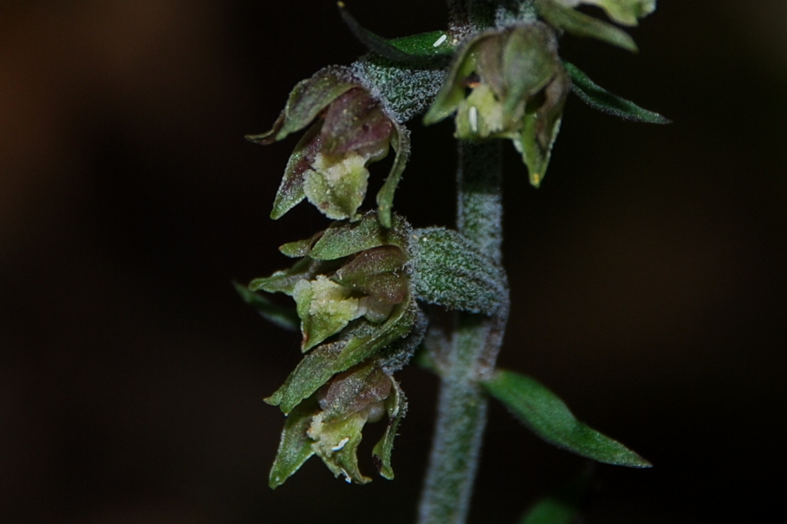 Epipactis microphylla 8