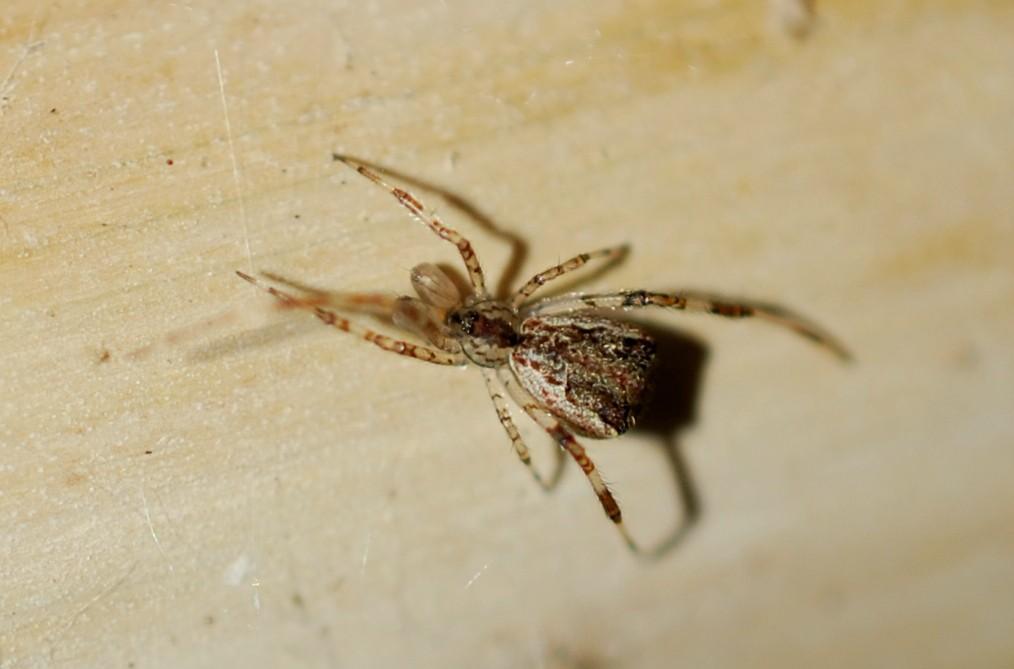 Episinus angulatus - Theridiidae