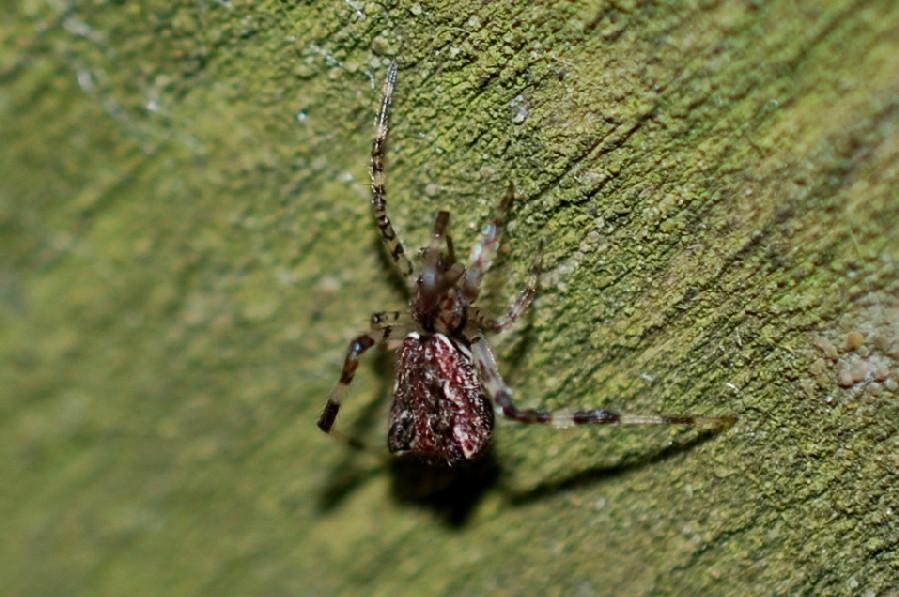 Episinus sp. - Theridiidae