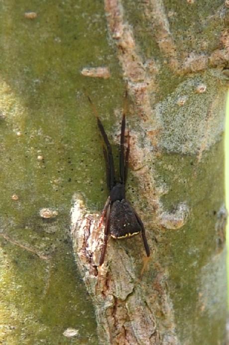 Episinus truncatus - Theridiidae