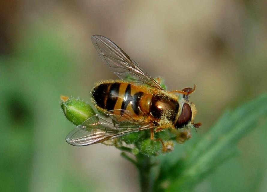 Epistrophe eligans - Syrphidae