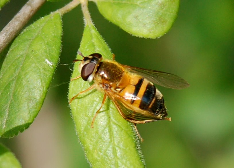 Epistrophe sp. - Syrphidae