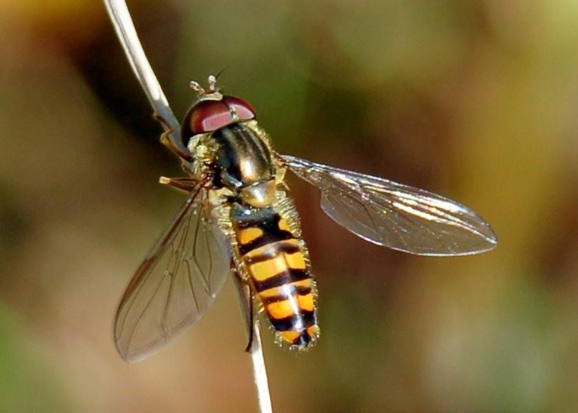 Episyrphus balteatus - Syrphidae