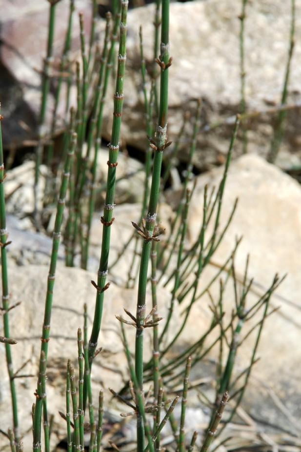 Equisetum ramosissimum 2