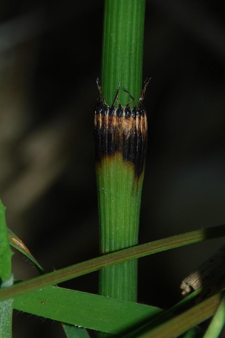 Equisetum ramosissimum 6