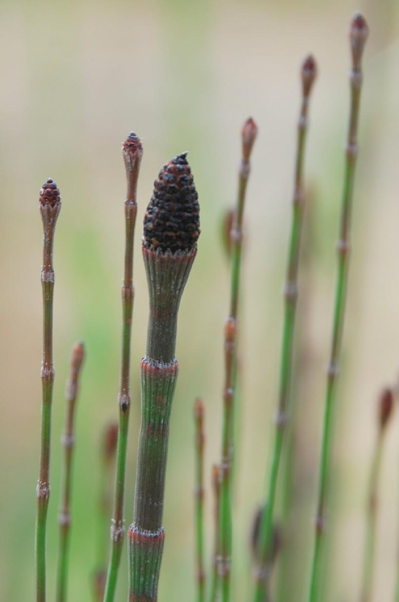 Equisetum ramosissimum 9
