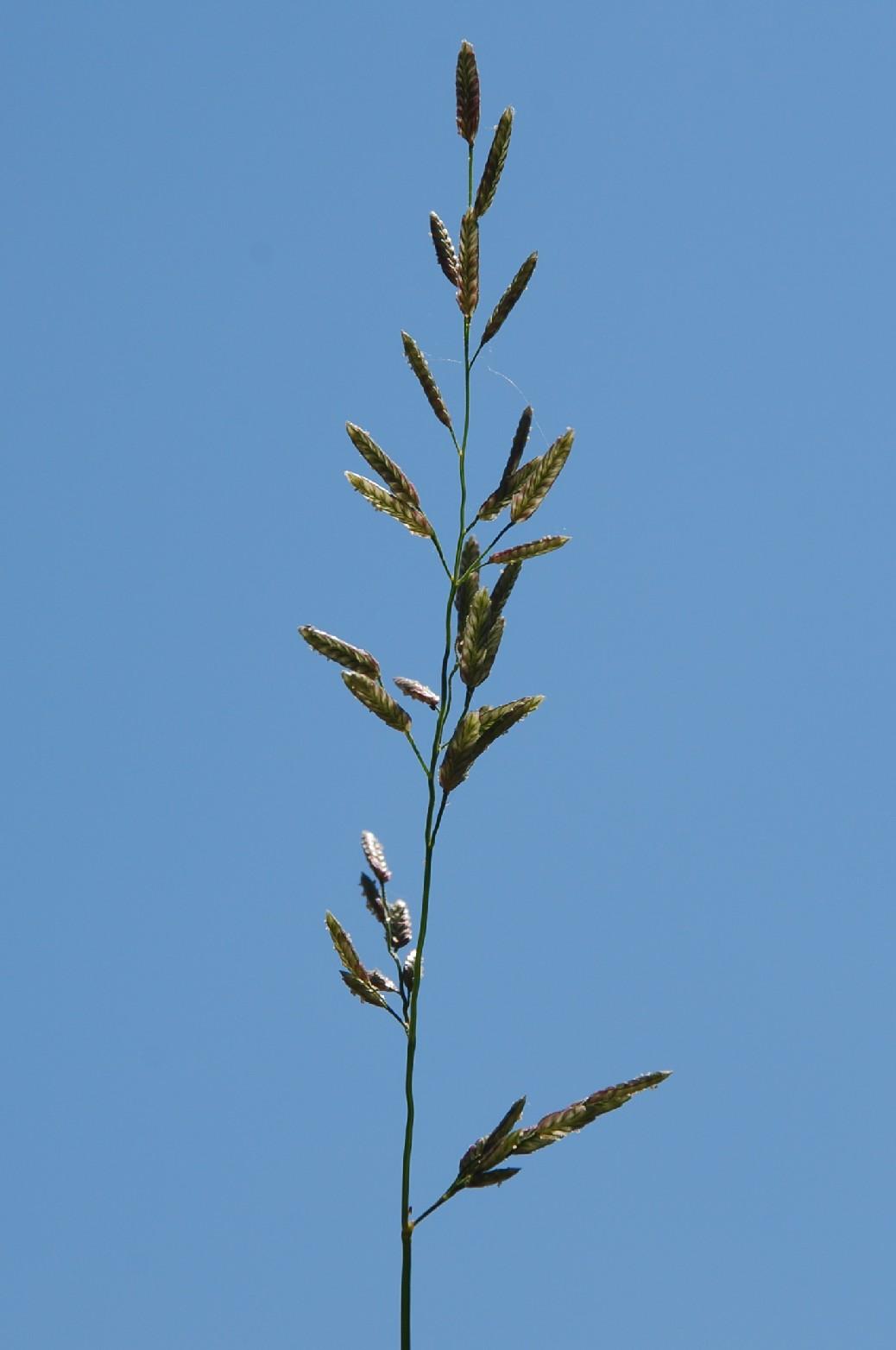 Eragrostis cilianensis 4