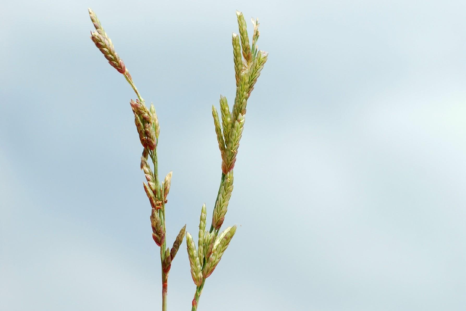 Eragrostis minor 10