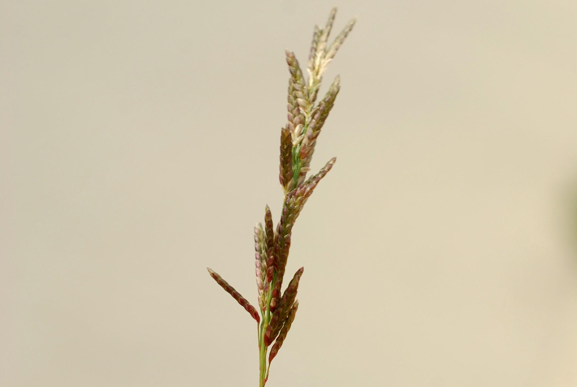 Eragrostis minor 11