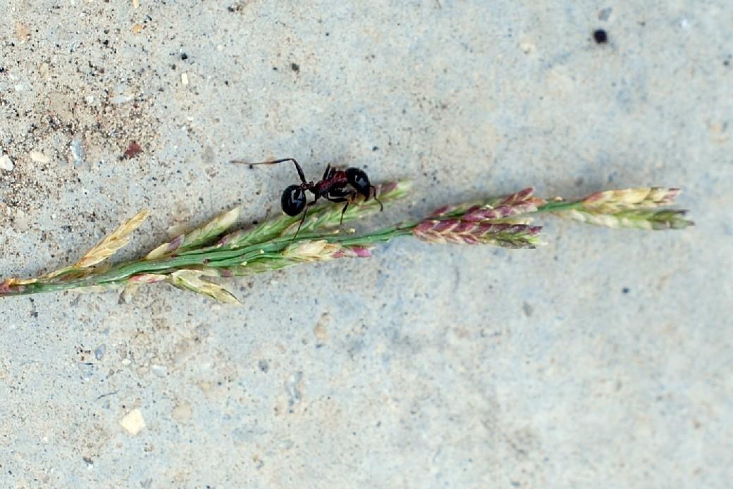 Eragrostis minor 12