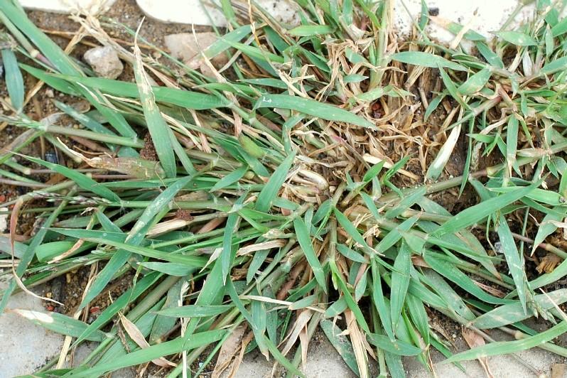 Eragrostis minor 13