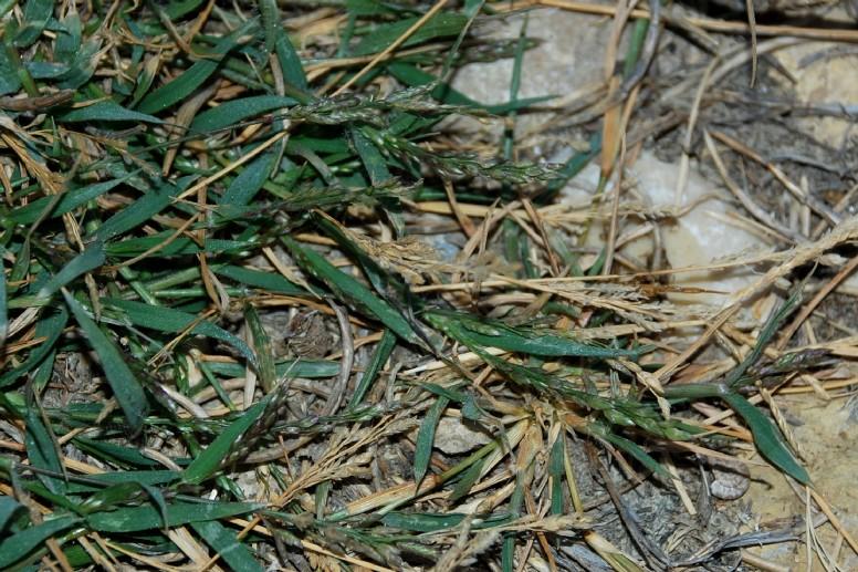 Eragrostis minor 2