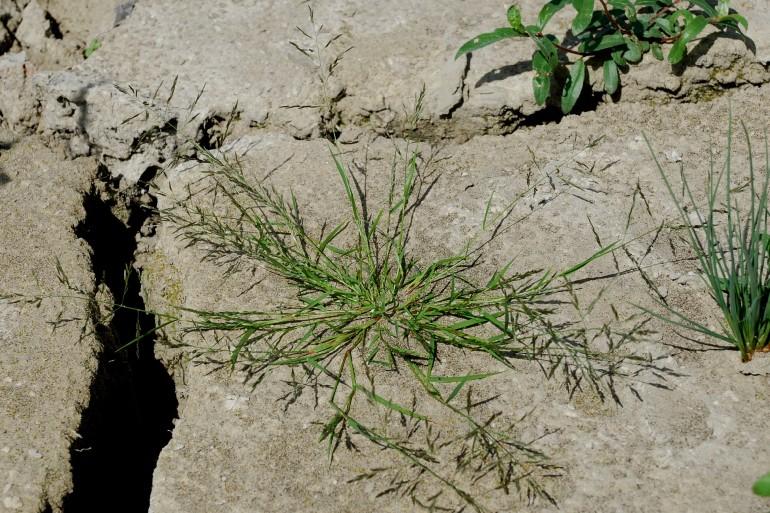 Eragrostis pectinacea 4