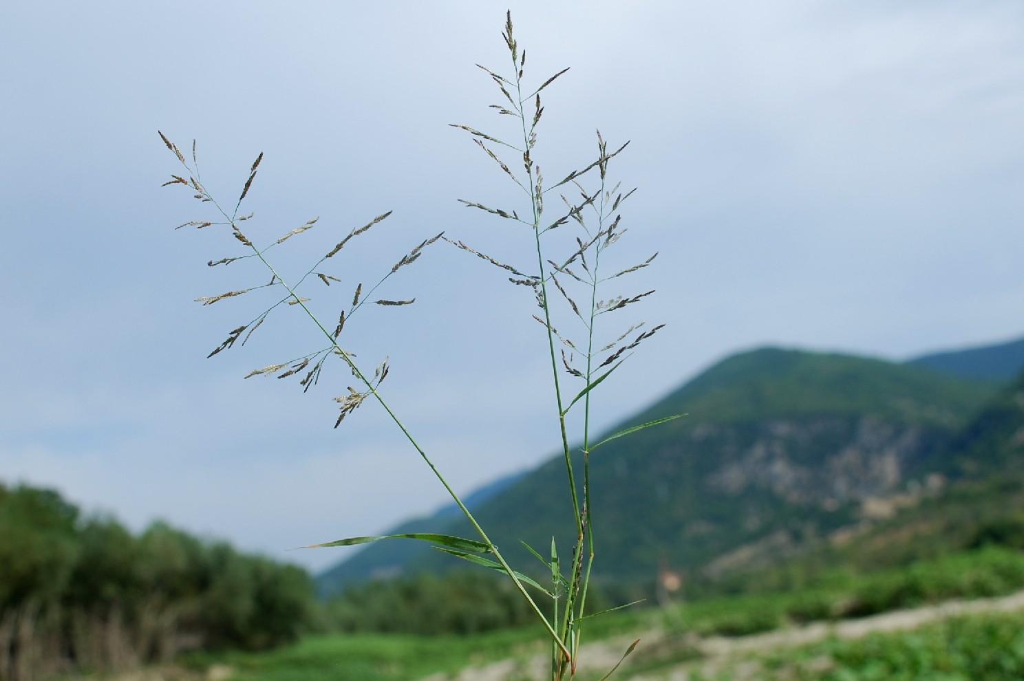 Eragrostis pectinacea 6