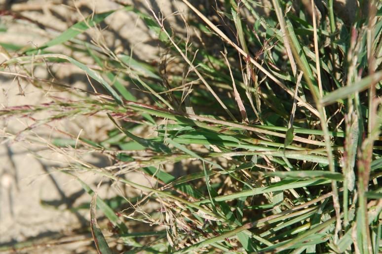 Eragrostis pilosa 11