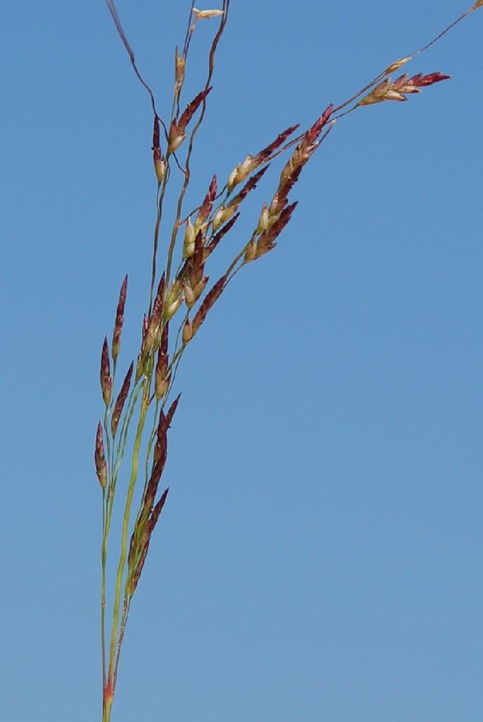Eragrostis pilosa 12