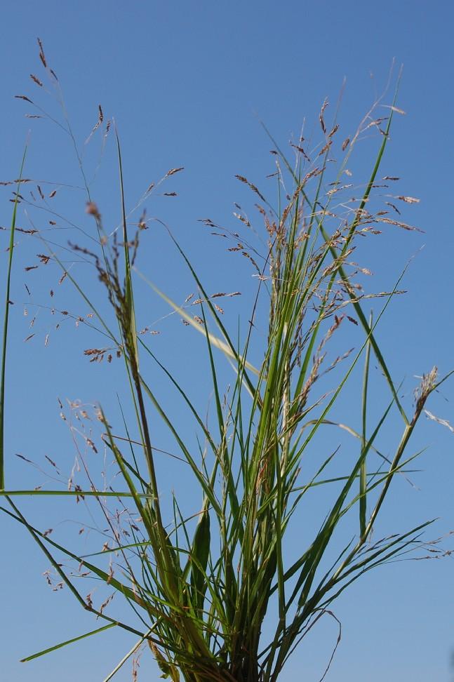 Eragrostis pilosa 14