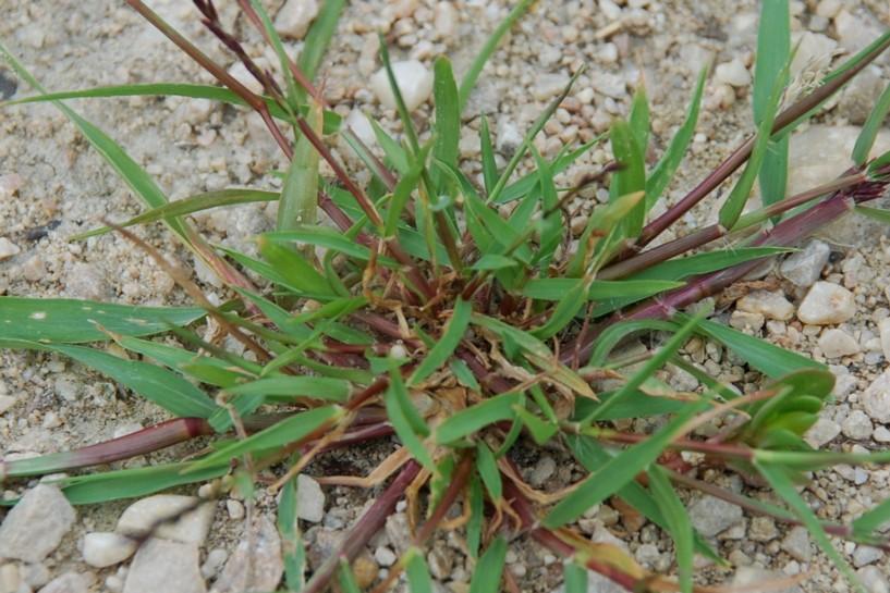 Eragrostis pilosa 26