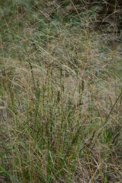 Eragrostis pilosa 3