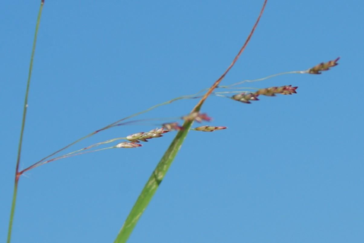 Eragrostis pilosa 4