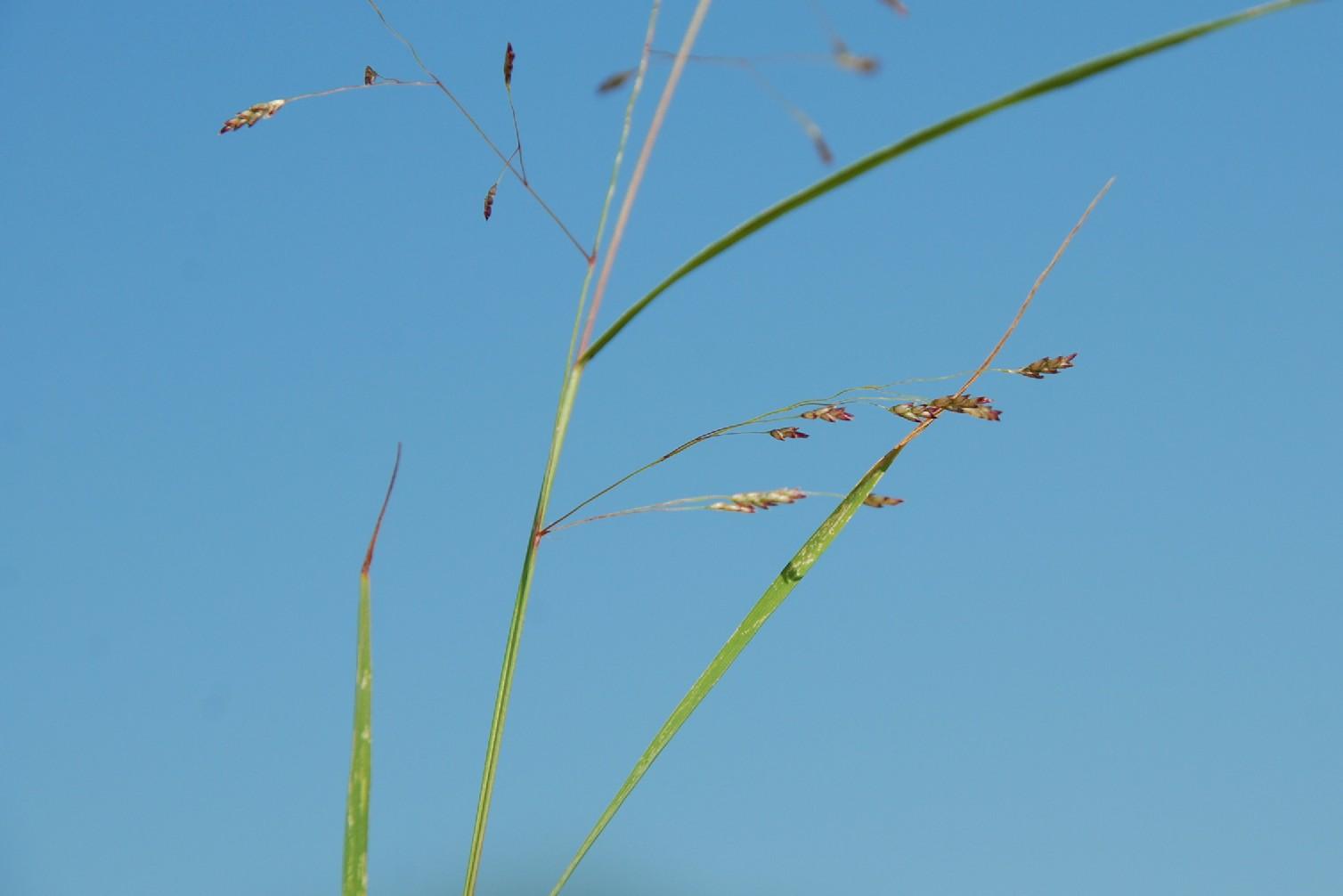 Eragrostis pilosa 7
