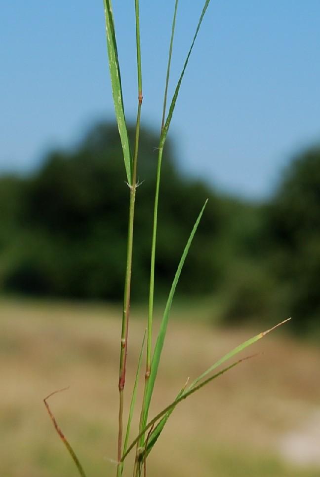 Eragrostis pilosa 9