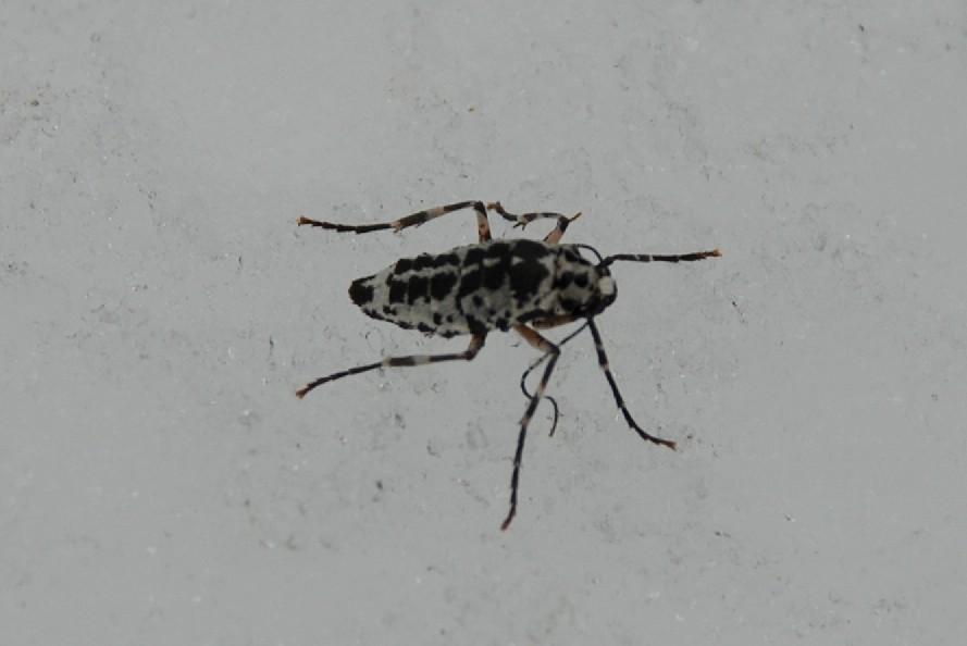 Erannis defoliaria - Geometridae