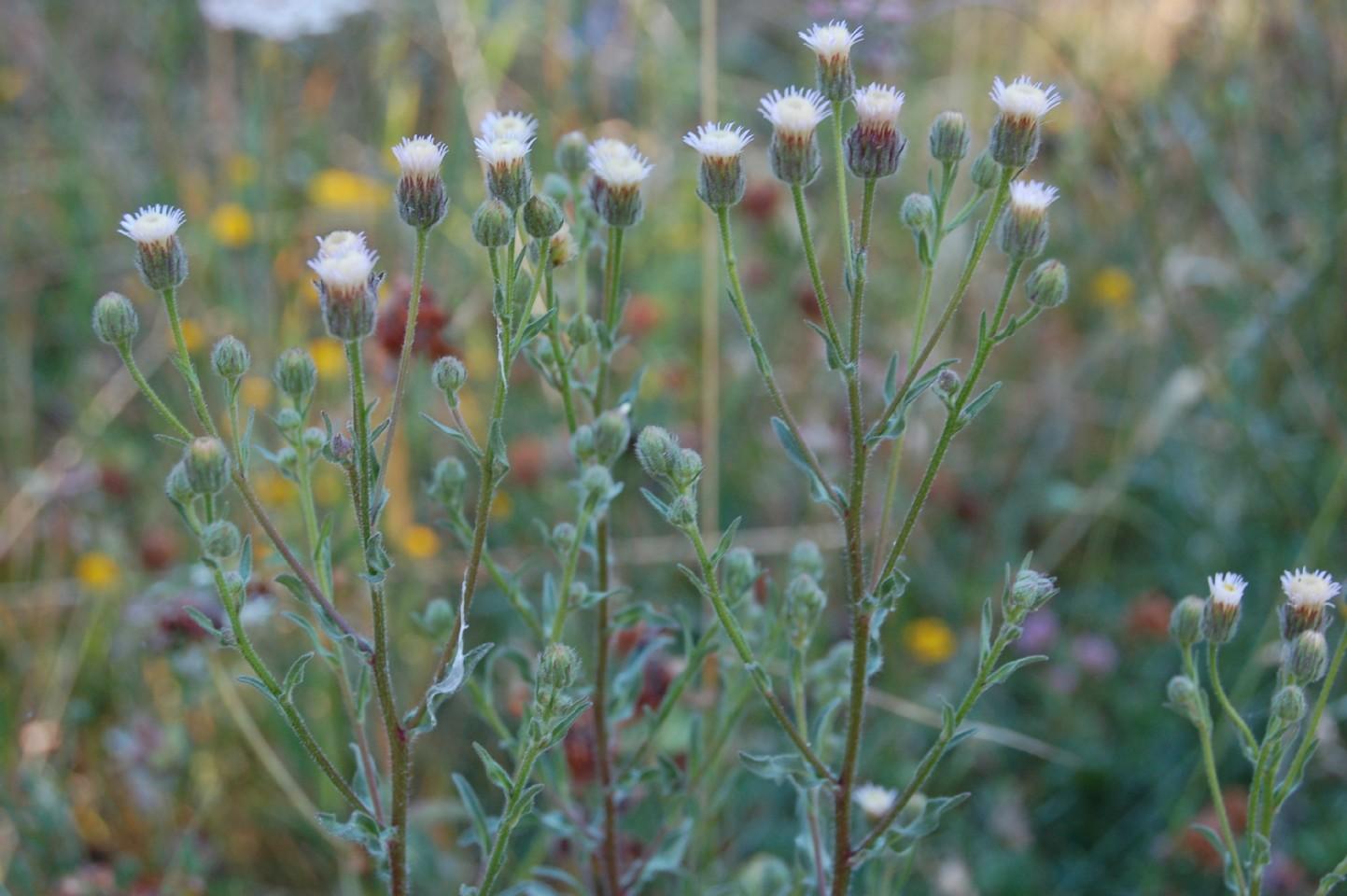 Erigeron acer subsp. acer