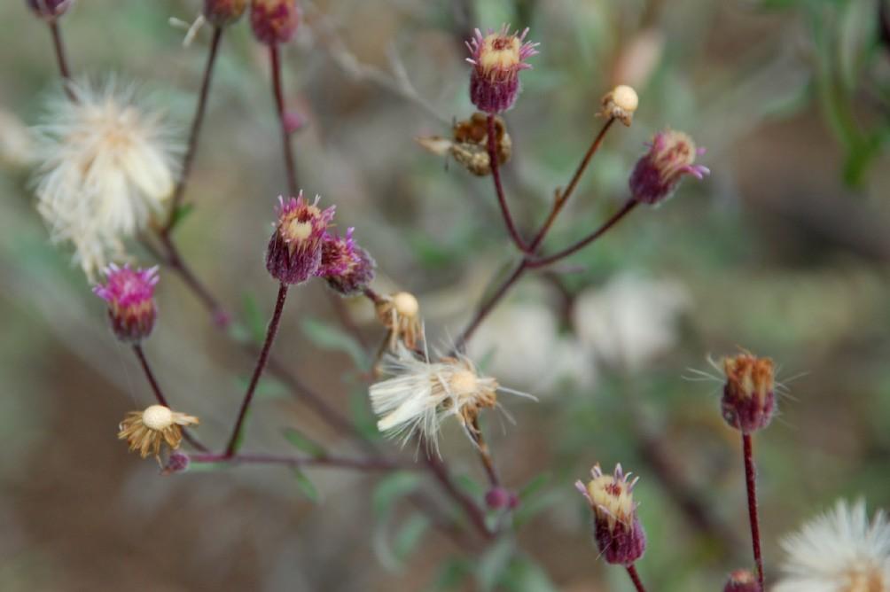 Erigeron acer subsp. acer 10