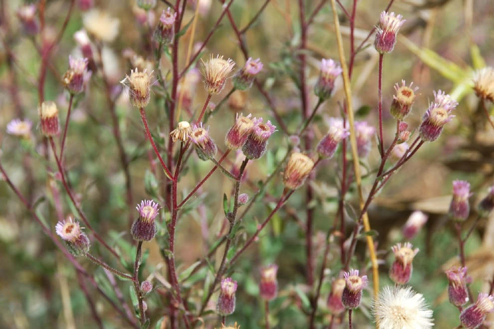 Erigeron acer subsp. acer 11