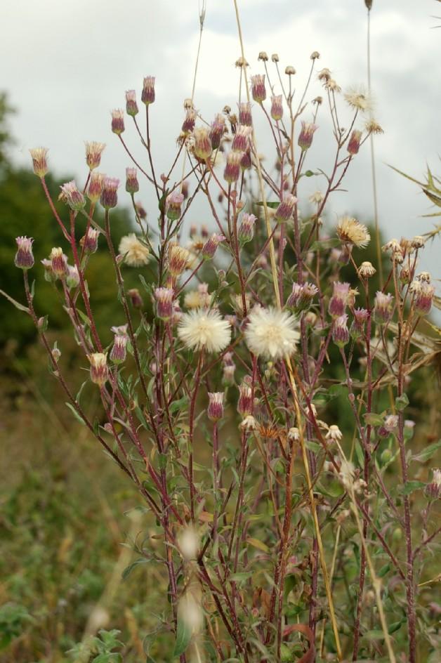 Erigeron acer subsp. acer 15
