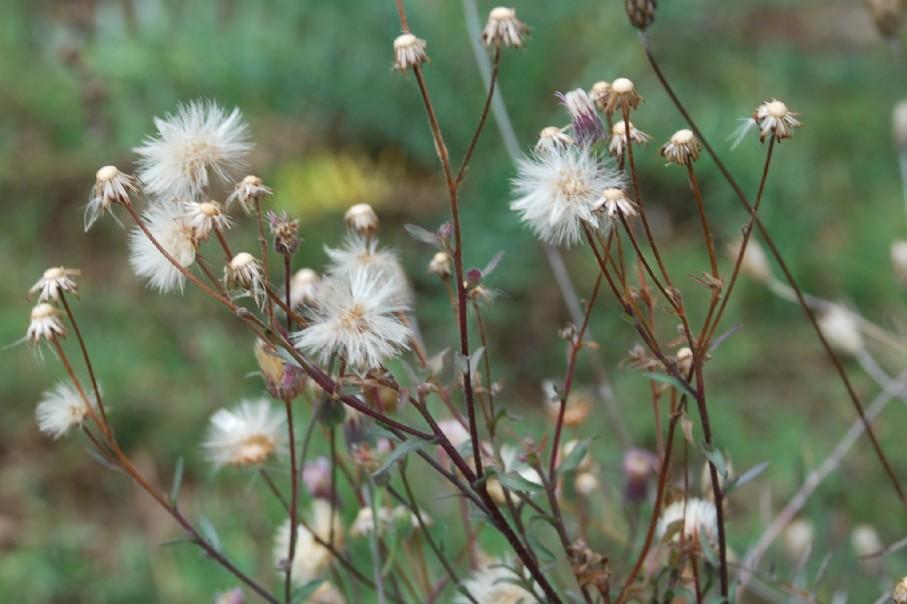 Erigeron acer subsp. acer 17
