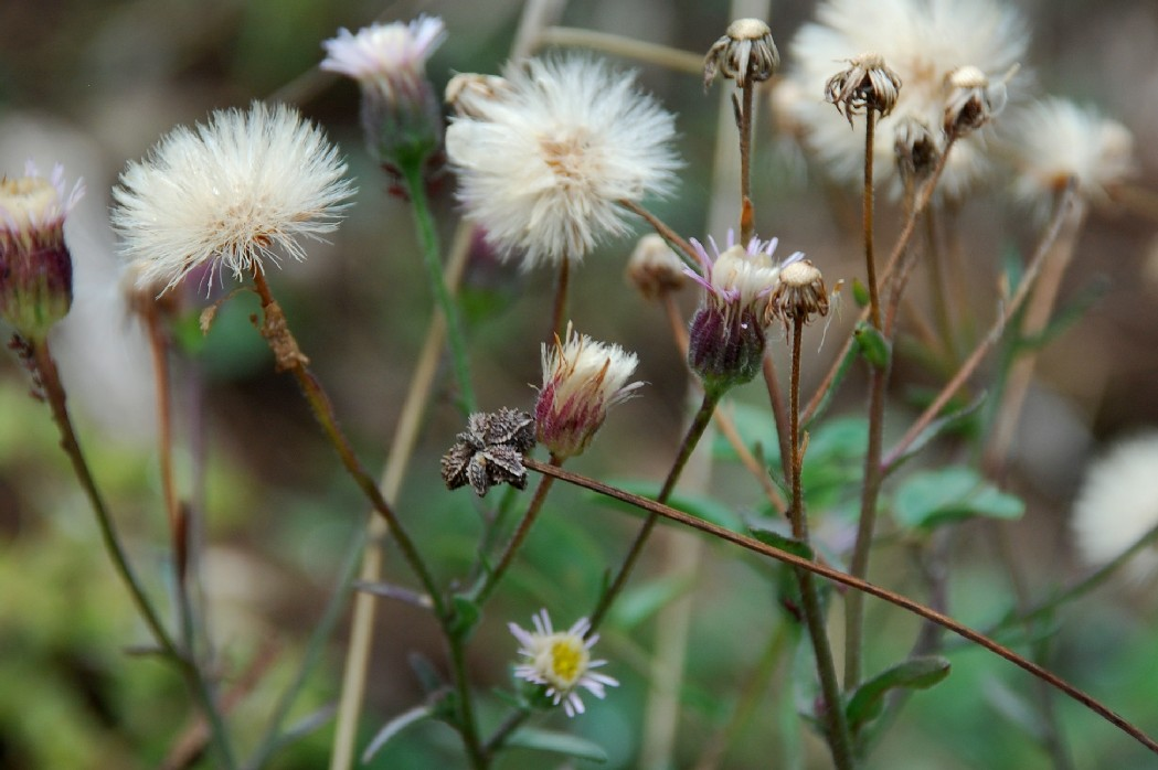 Erigeron acer subsp. acer 18