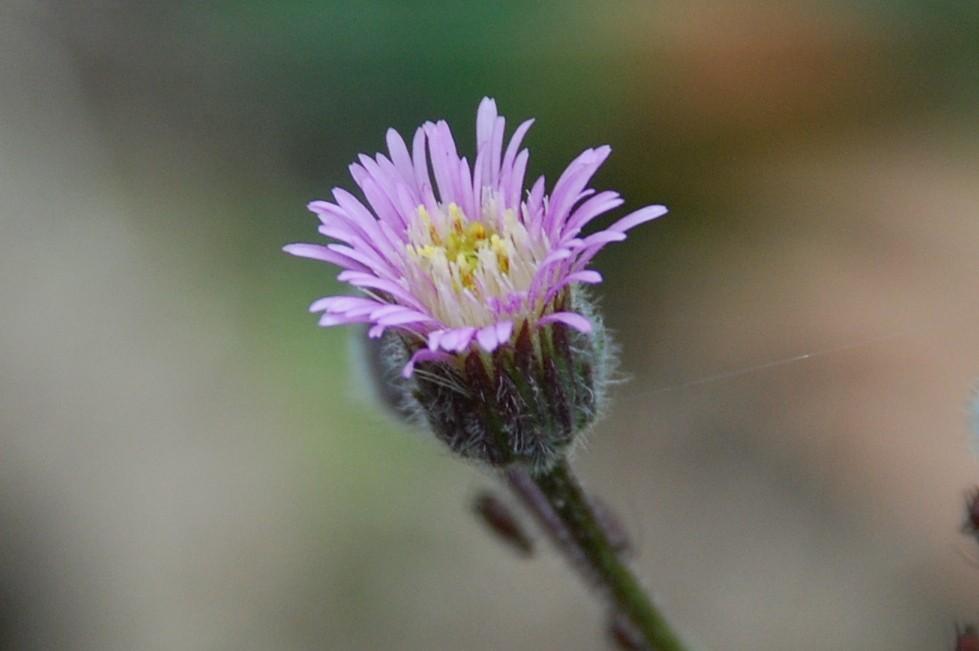 Erigeron acer subsp. acer 19