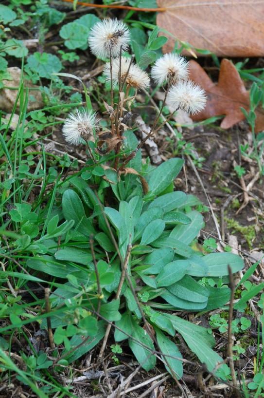 Erigeron acer subsp. acer 20