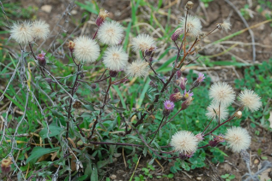 Erigeron acer subsp. acer 22