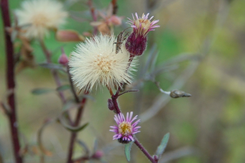 Erigeron acer subsp. acer 23