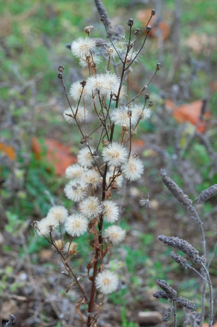 Erigeron acer subsp. acer 25