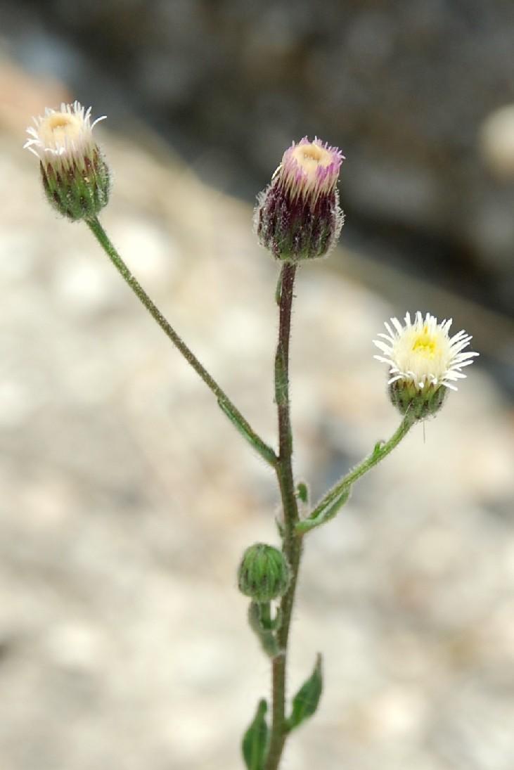 Erigeron acer subsp. acer 4