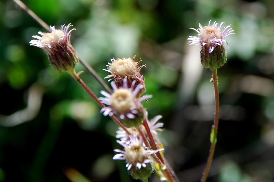 Erigeron acer subsp. acer 6