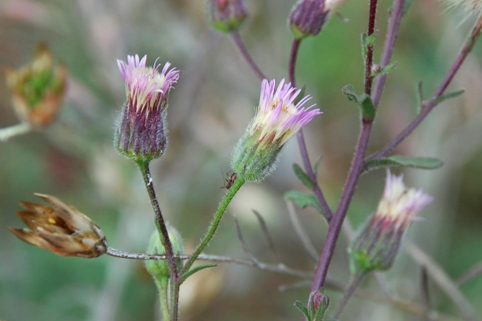 Erigeron acer subsp. acer 9