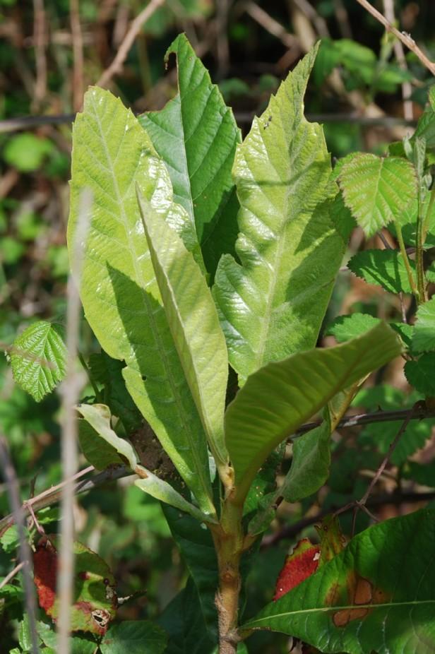 Eriobotrya japonica 10