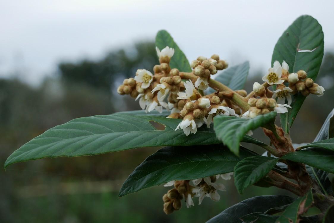 Eriobotrya japonica 4